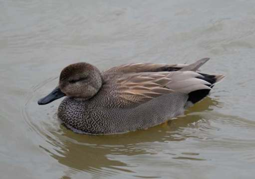 Cotswold Reverie: Gadwall. A beautiful duck when viewed close up.