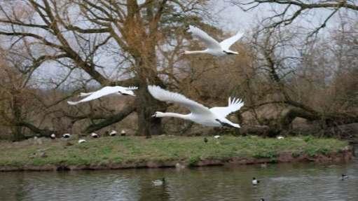 Cotswold Reverie: Mute swans in flight.