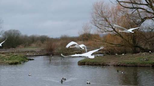 Cotswold Reverie: Mute swans flying in for security and food.