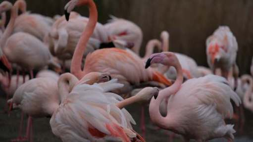 Cotswold Reverie: Flamingoes.