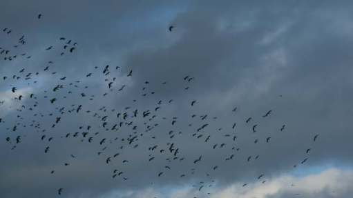 Cotswold Reverie: Enormous flocks of lapwings viewed from a heated hide.