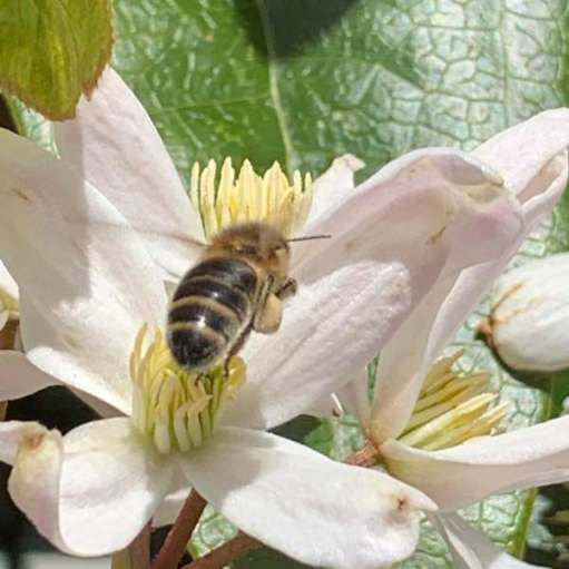 Clematis Armandii & Bee - Look at that pollen on their back legs!