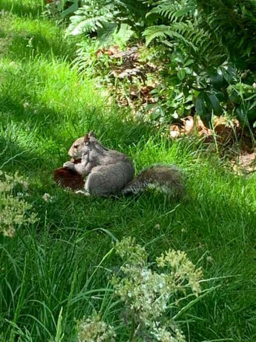 Squirrel on the grass eating a chocolate cupcake. Very nice.