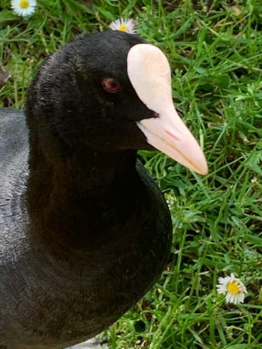 "Close up of the head of a Coot, showing where the expression ""Bald as a coot"" comes from."