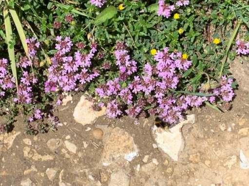 Thyme. Delicate purple flowers on a green bush.