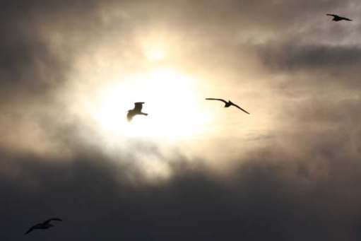 Two birds flying above Skomer backlit by the sun in an otherwise black, cloudy sky.