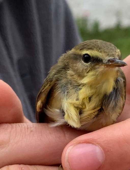 A Willow Warbler prior to release. A tiny summer migrant that will fly to Africa soon.