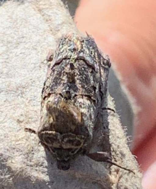 Spectacled moth.