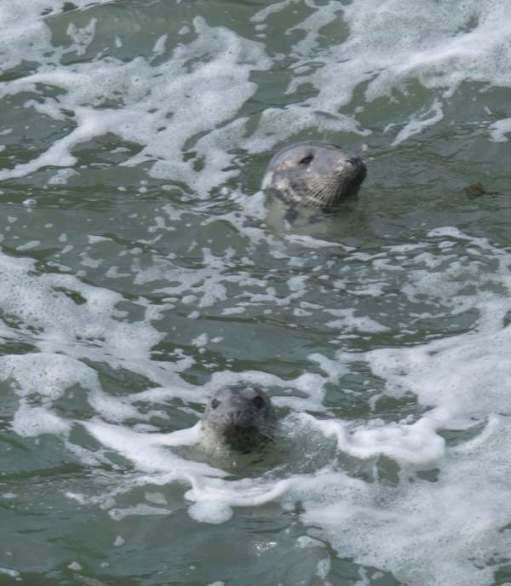That didn't bother the Grey Seals frolicking in the crashing waves.
