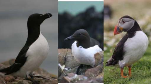 Auk cousins. Razorbill, Guillemot and Puffin.