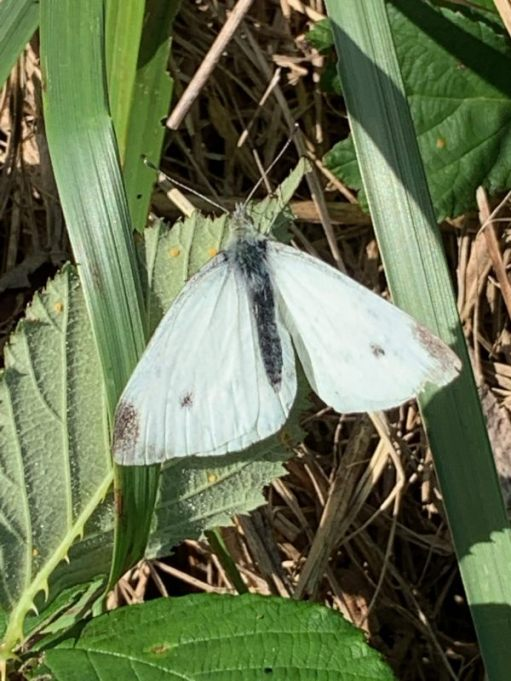 Small White butterfly in the green undergrowth.