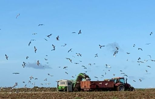 Birds flocking around the trailer as the harvested potatos are dropped by conveyor into the trailer. Farm workers throwing out the rejects.