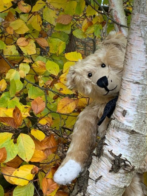 Bertie peering around a shining Silver Birch tree trunk with a backdrop of autumn leaves in Abinger Roughs.