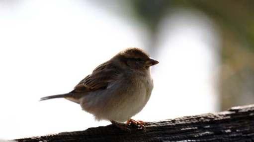 Sparrow, Slimbridge.