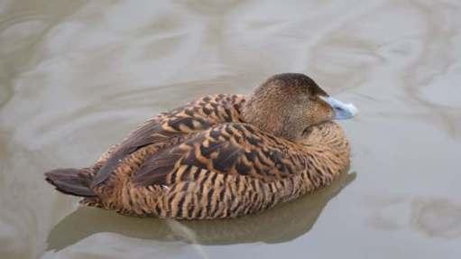 Eider Duck (Female), Slimbridge.