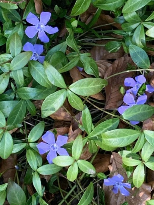 Periwinkle. A beautiful violet blue five long-petalled flower with dark green leaves in clusters of four.