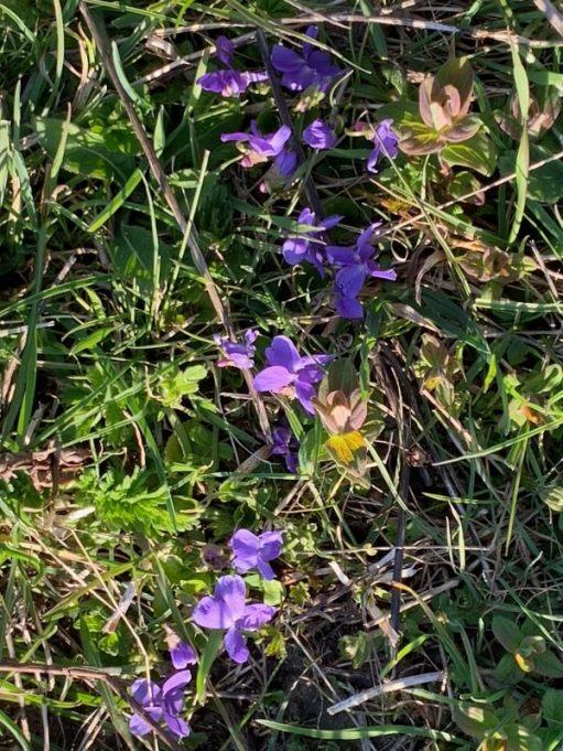 Wild Violet in the ground.