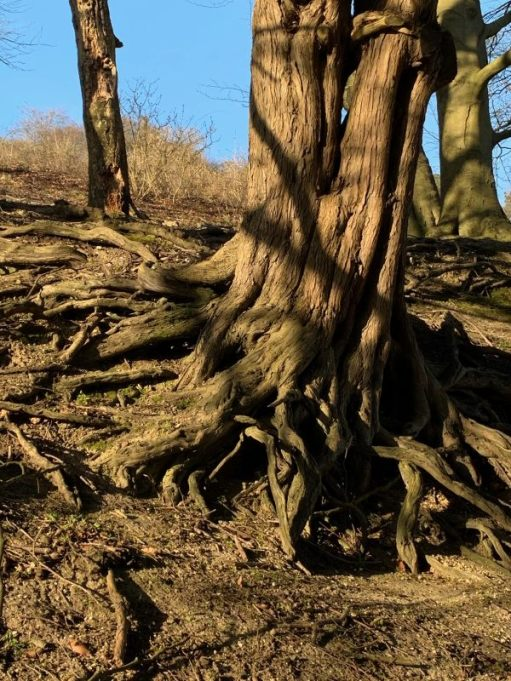 Base of an old Yew tree. A mass of gnarled roots peeking above the surface.