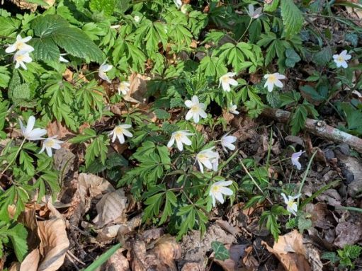 Lots more Wood Anemones in the woods here.