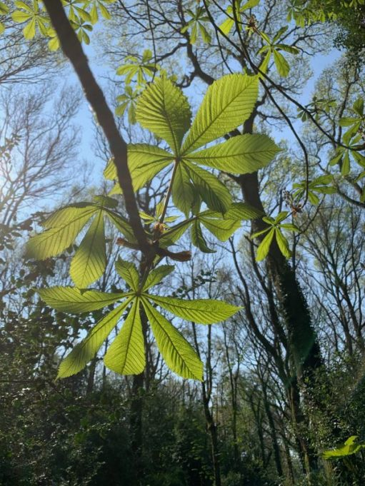 New Horse Chestnut leaves.