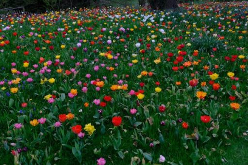 Multi coloured tulips in the grass at Dunsborough Park.