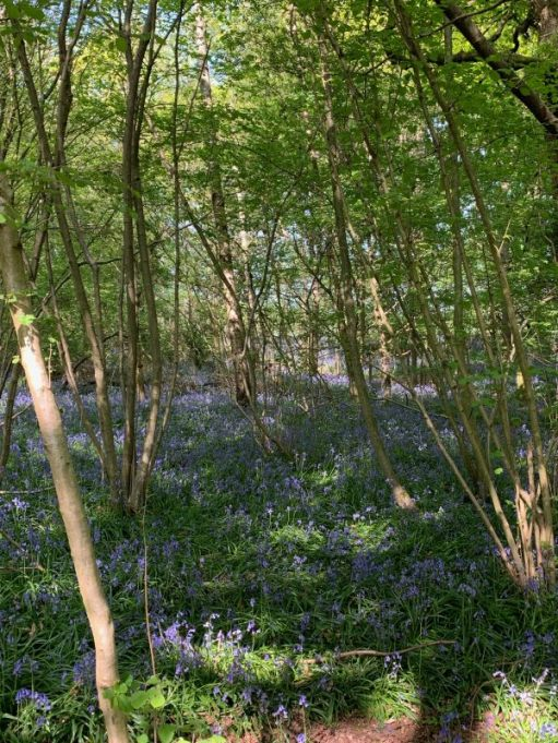 Bluebell Wood. A carpet of blue flowers within the woodland.