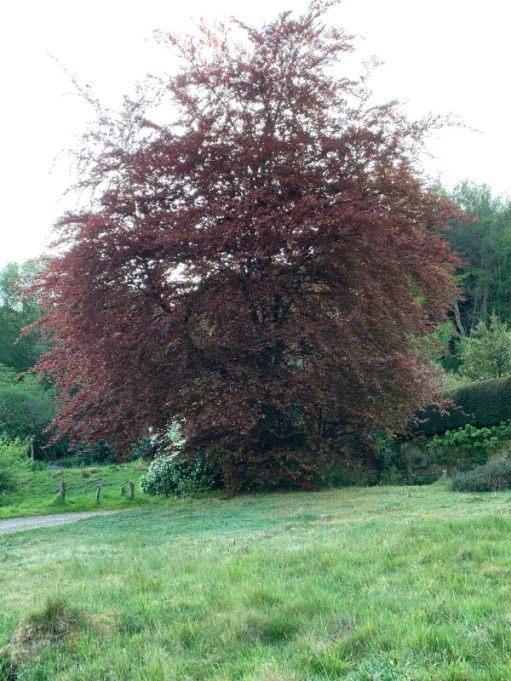 Copper Beech treet.