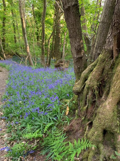 Close up of a large patch of Bluebells at the foot of a mature tree.