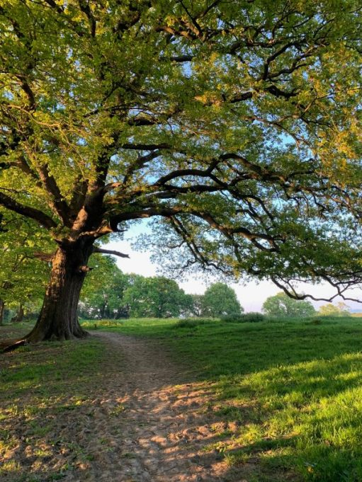 Footpath across a field with a lovely old tree leaning over it at a slight angle.
