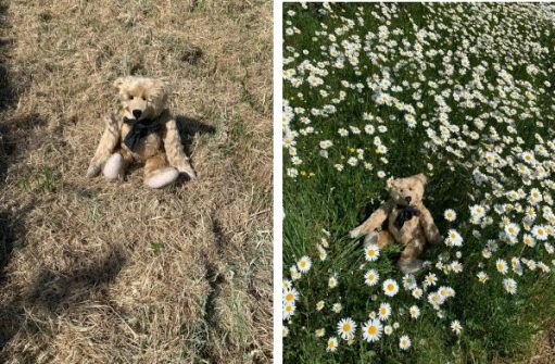 Bertie in the devasted mown area last year compared to this year where he is sat in an expanse of remaining Moondaisies along the A24 in Surrey.