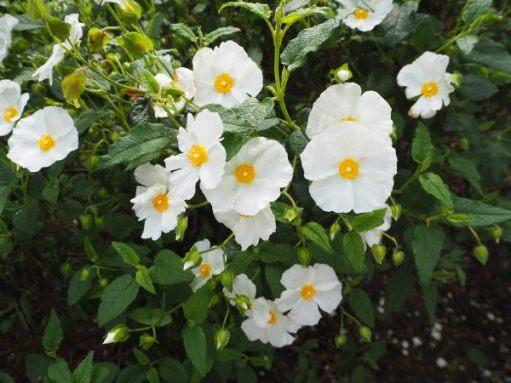 White Rock-rose.