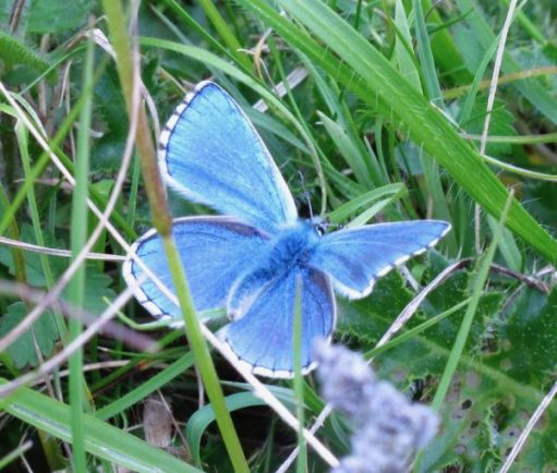 The Adonis Blue Butterfly.