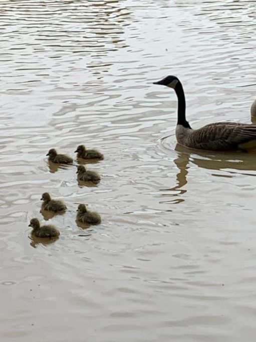 Goose and goslings at Fourwents Pond.