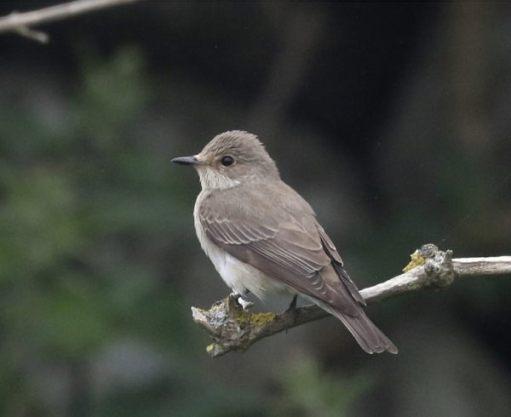 Spotted flycatcher. Richard Brown, Skokholm Island.