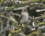 The Spotted Flycatcher.
