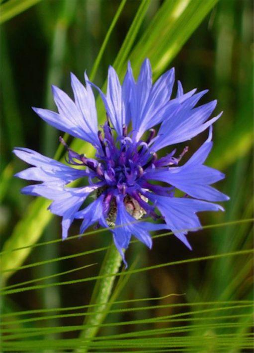Cornflower Blue.