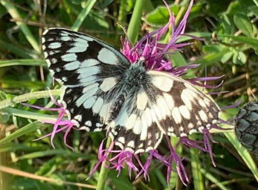 Marbled White Butterfly as seen on the walk from Westcott to Denbies Hillside.