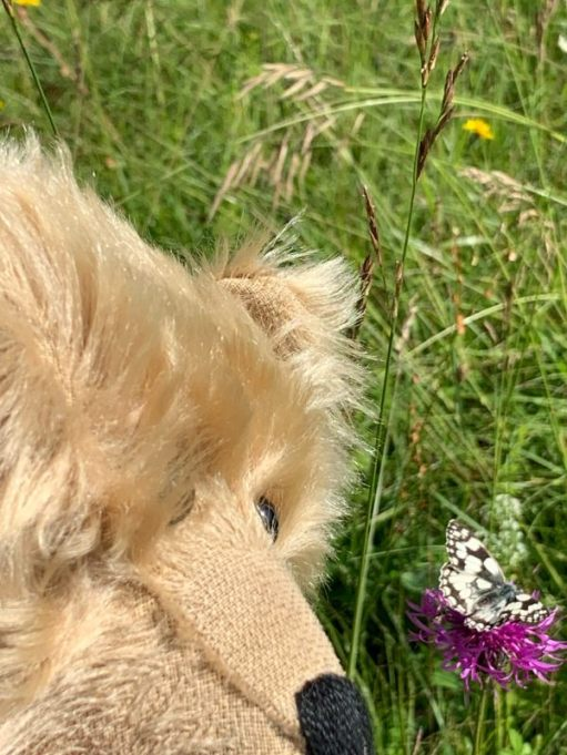 Bertie with his nose close to a Marbled White butterfly.