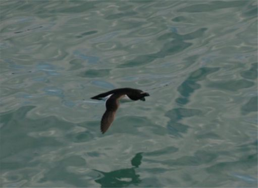 Razorbill flying low over the sea.