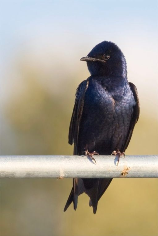 Purple Martin: Male.
