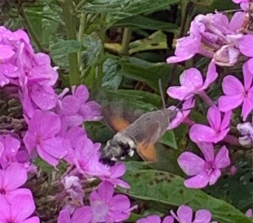 Phlox. But look carefully for the Humming Bird Hawk Moth feeding in the rain.
