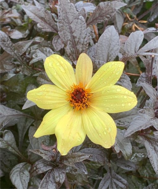 Dahlia. We love those bronze leaves in the rain.