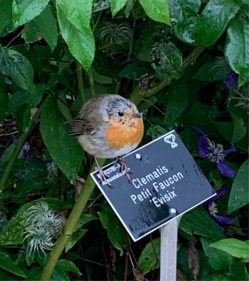 This young Robin, just getting his redbreast, looked pretty soggy.