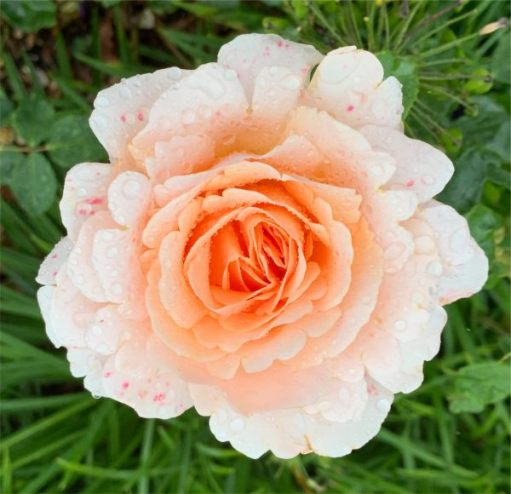 The rain was getting heavier and heavier, but didn't bother this beautiful Rose.