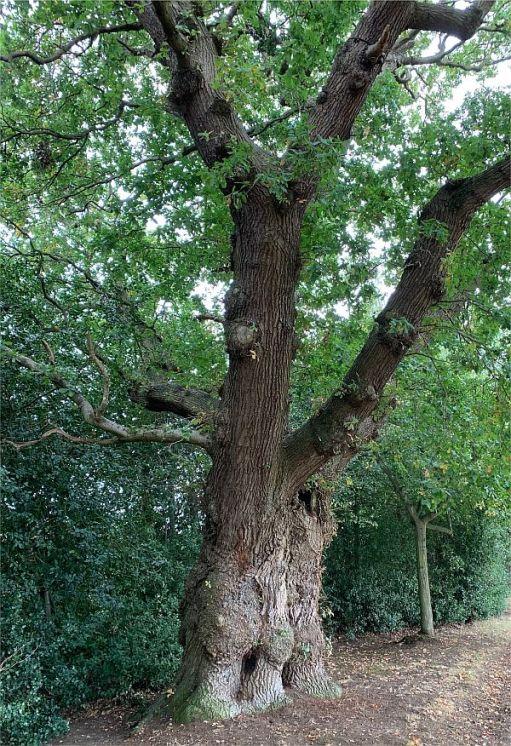 600 year old Oak Tree in Dunsborough Park.