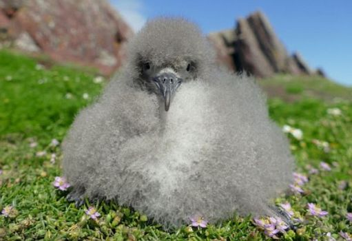 Manx Shearwater chick.