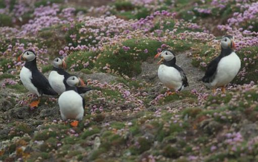 Puffins and Thrift.