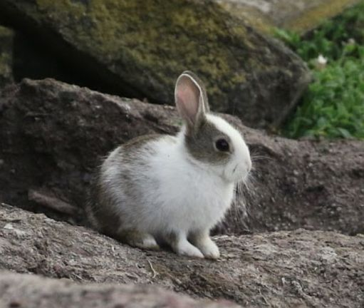 Grey and white Rabbit sat on the rocks.