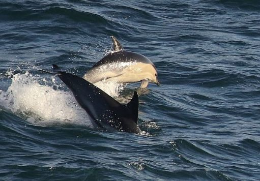 Common Dolphins swimming in the sea.