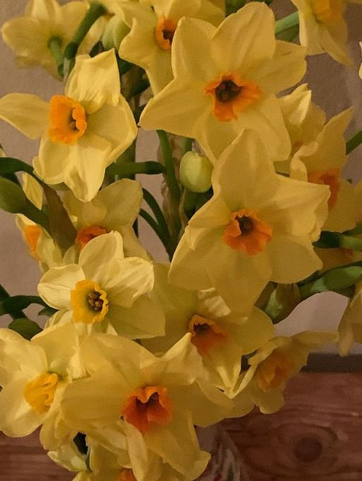 Close up of the Soleil d'Or (Golden Sun) Narcissi.